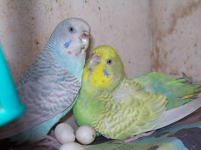волнистые попугаи высижывают яйца