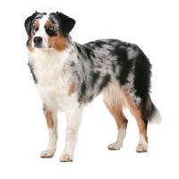 Умные породы собак австралийская овчарка