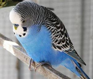 Болезни желудочно-кишечного тракта у попугаев