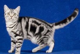 шотландские породы котов фото