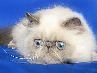 персидский кот с голубыми глазами