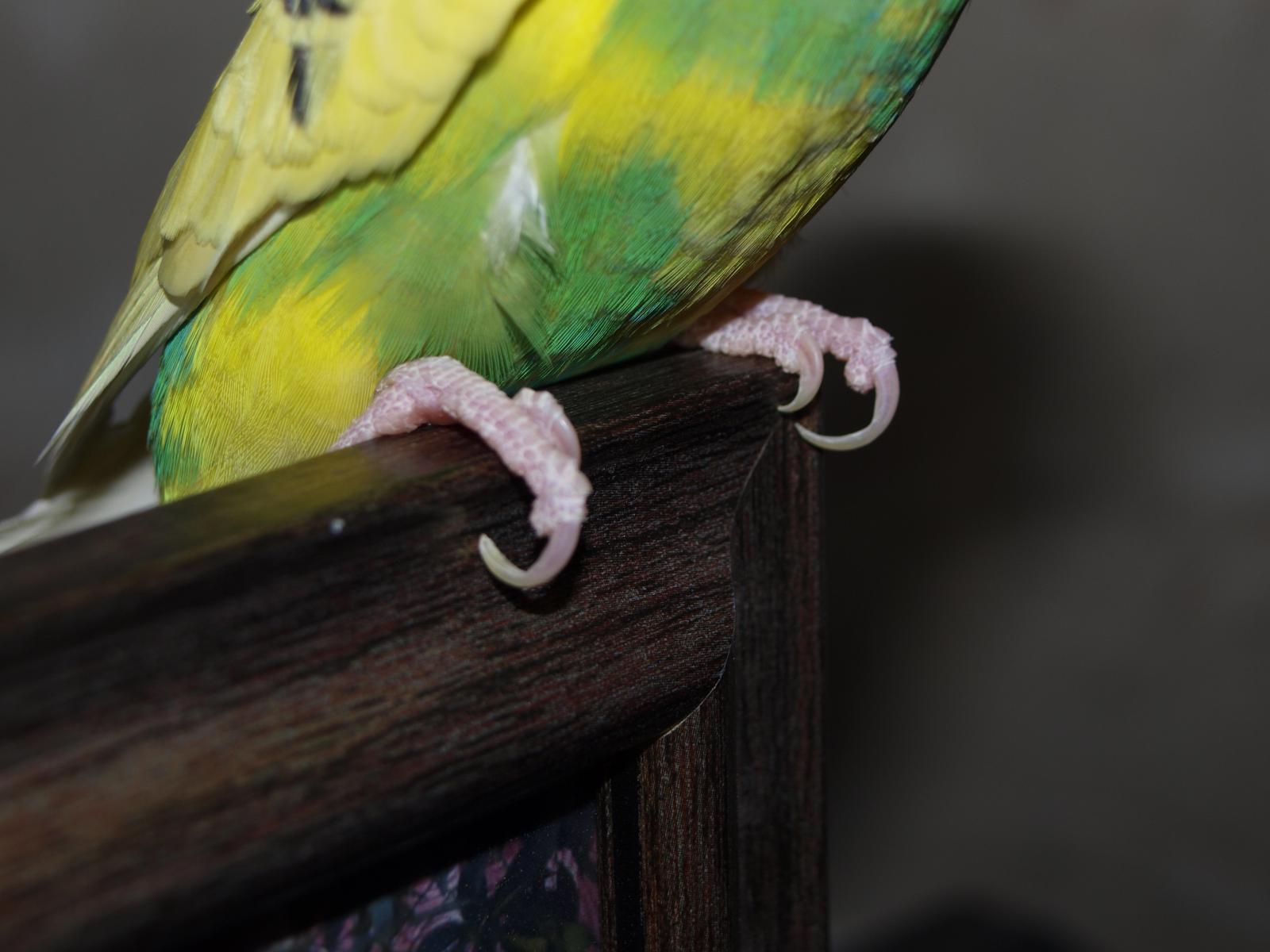 Стричь когти попугаю | МосВетПомощь