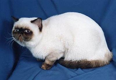 порода кошек фото