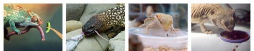 еда хамелеона ящериц