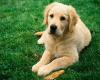 Умные породы собак золотистый ретривер