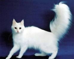 белый кот с пушистым хвостом