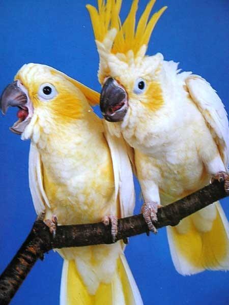 Кашель у попугая лечить москва