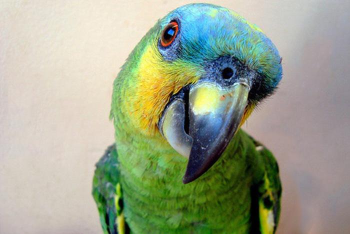 Как обеспечить безопасность попугая в доме