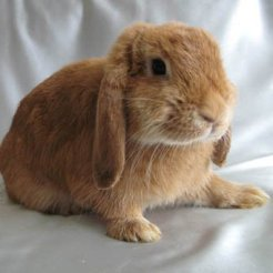 вислоухий баран кролик фото