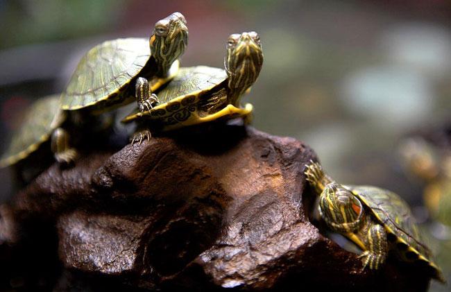 кормить черепаху
