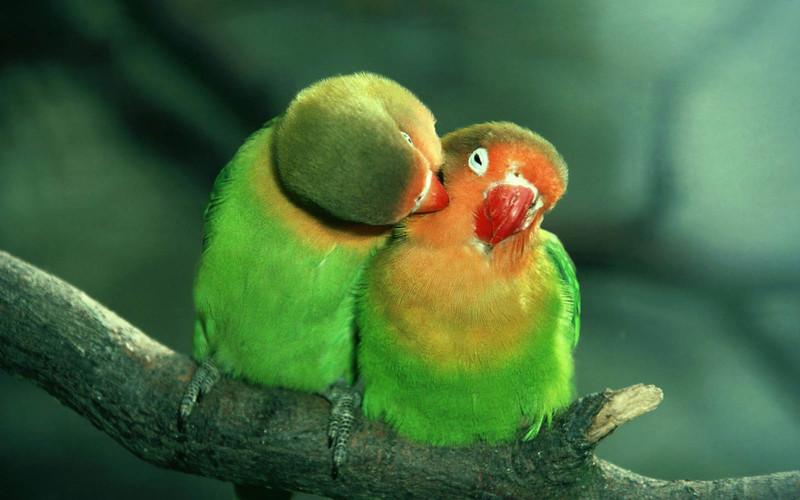 попугаи неразлучники фото | МосВетПомощь
