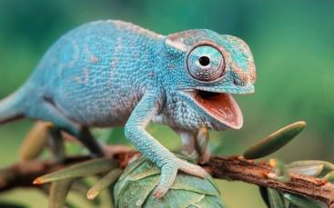 голубой хамелеон улыбается