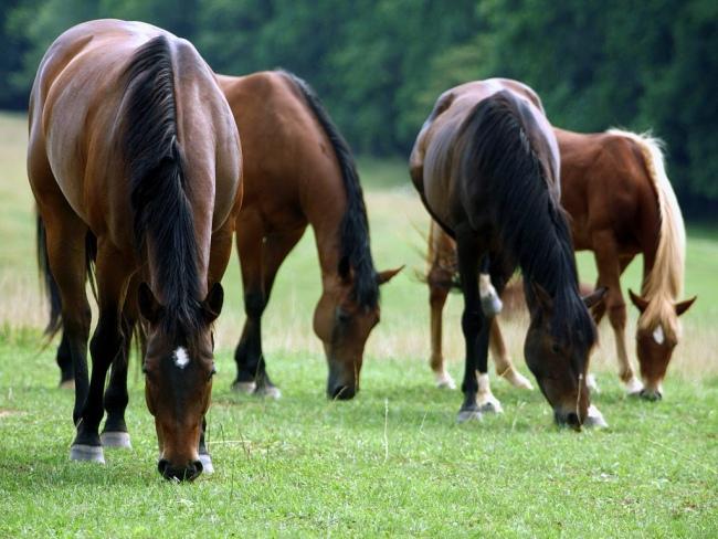 как кормить лошадей