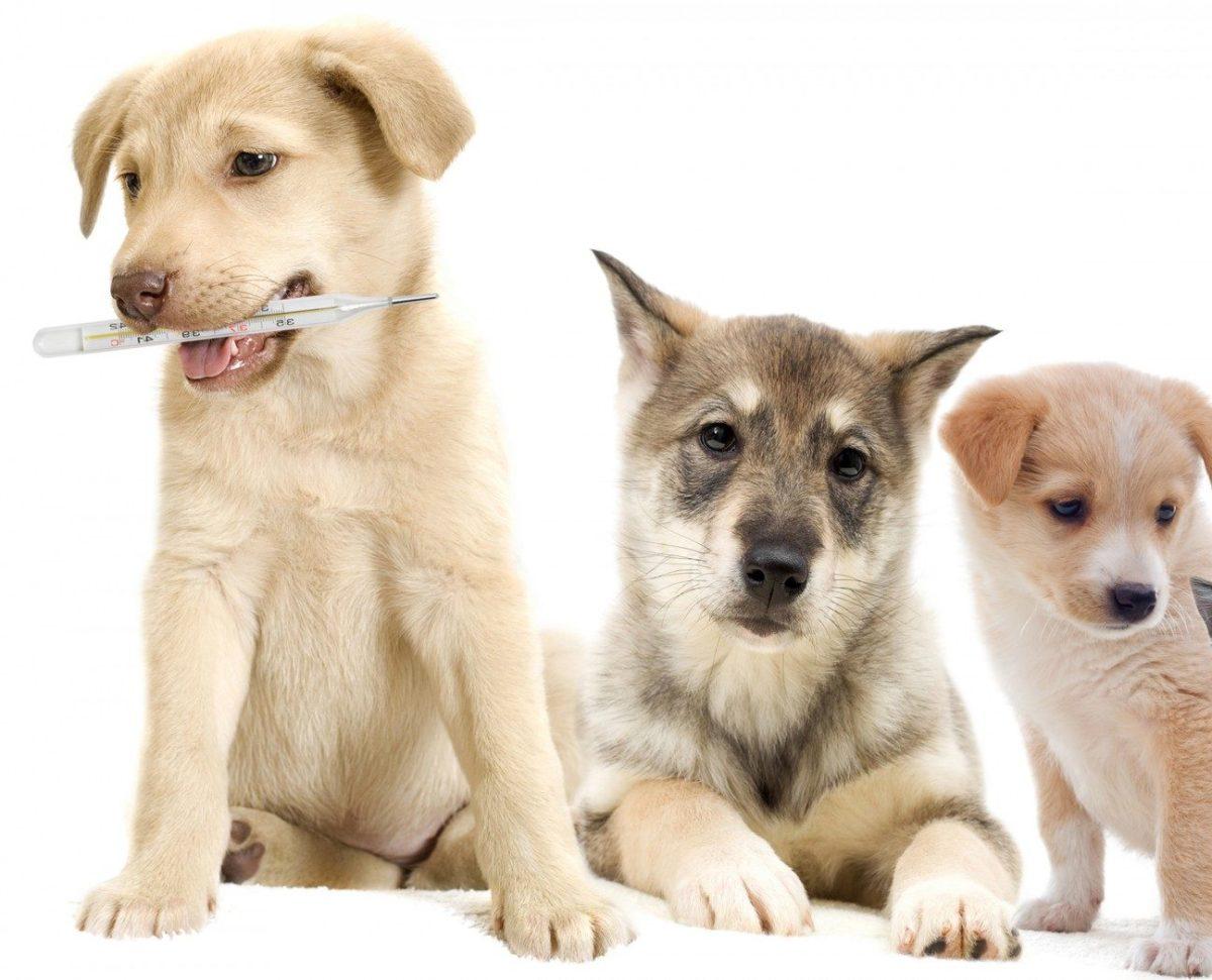 температура у собаки и щенка