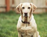 Умные породы собак лабрадор ретривер