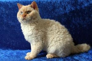 кучерявая порода котов