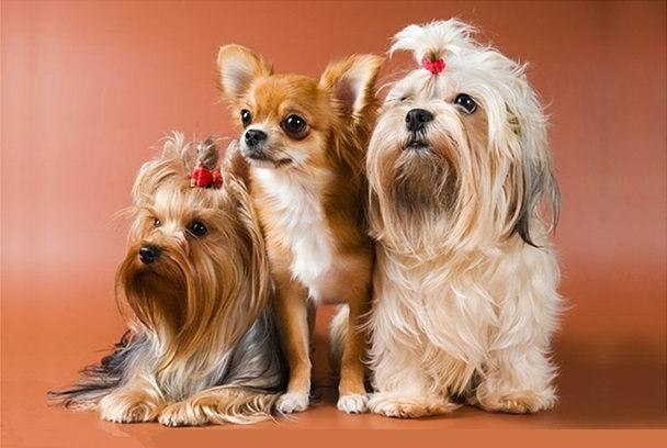Мелкие породы собак - типичные заболевания