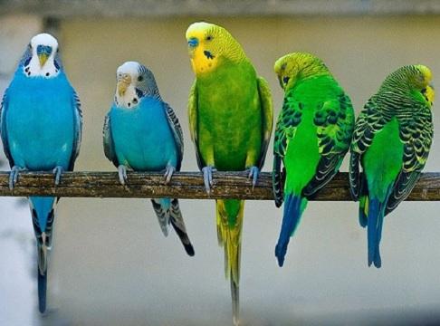 адаптация попугаев дома