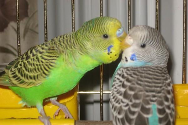 Знакомство разнополых попугаев дома