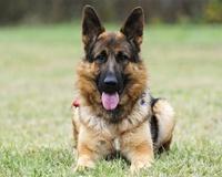 Умные породы собак немецкая овчарка