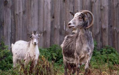 Заболевания мелкого рогатого скота