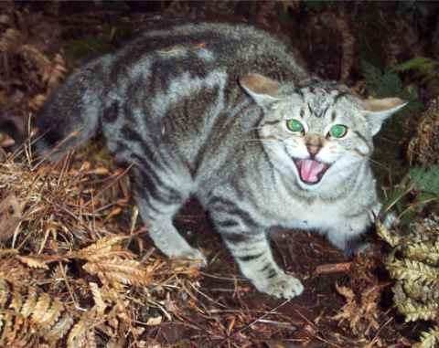 Кошка с бешенством