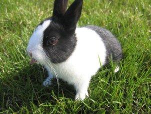 голландский карликовый кролик фото