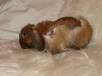 линька у кролика фото